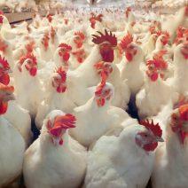 Live chicken (broiler)