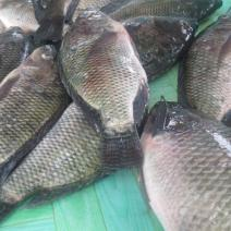 buy tilapia fish