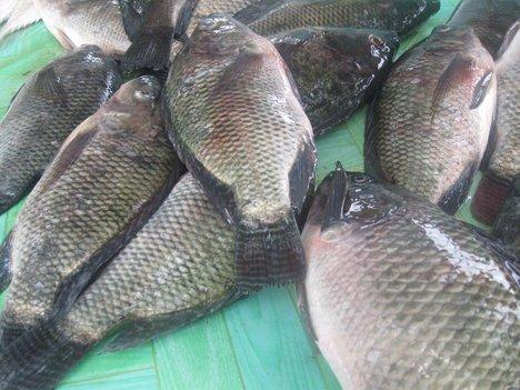 buy tilapia fish
